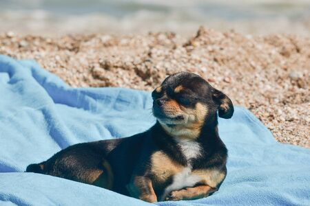 chihuahua dog resting on blue towel. Chihuahua on the beach on a towel. Dog and rest. Concept summer vacation beach sea. Stock fotó - 149482425