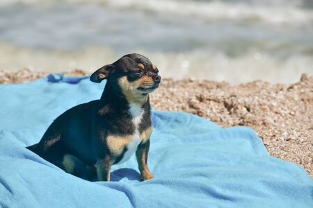 chihuahua dog resting on blue towel. Chihuahua on the beach on a towel. Dog and rest. Concept summer vacation beach sea. Stock fotó - 149488866