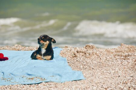 chihuahua dog resting on blue towel. Chihuahua on the beach on a towel. Dog and rest. Concept summer vacation beach sea. Stock fotó - 149490310