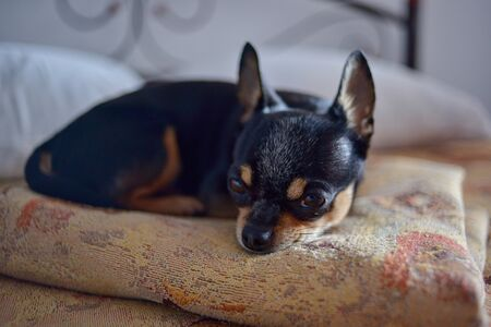 funny chihuahua dog sleeping on a pillow in bed. Chihuahua is lying on the bed