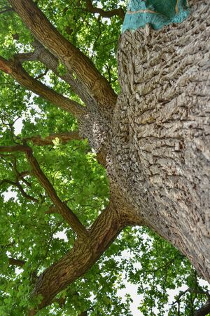 The trunk and branches of an old oak tree viewed from below. Crown of an old oak. Very old oak against the sky in the summer. Green leaves in the garden, park, rest area