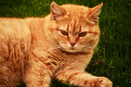 ginger cat in the garden. Ginger cat on the grass. Cat pet