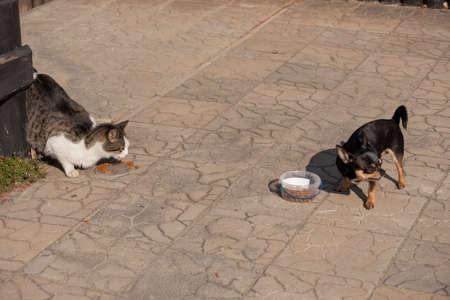 Dog and cat eat. A gray-white cat and a Chihuahua dog eat dry food. Adorable dog and cat eating pet food together at home. Friends forever. Dog and cat are fed side by side 스톡 콘텐츠