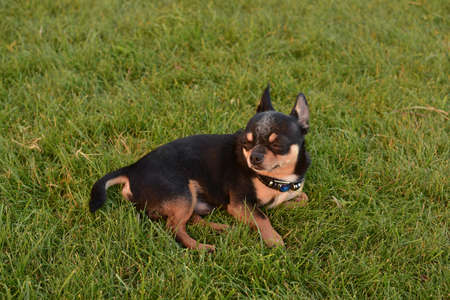 happy dog relaxing in the park on the grass. Chihuahua dog lies on the grass.