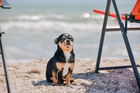funny chihuahua dog posing on a beach. Chihuahua at sea. small dog Chihuahua walking along the beach by the sea.
