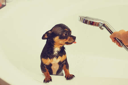 chihuahua dog getting pleasure from shower in bath. Chihuahuas are bathed in the shower. 版權商用圖片