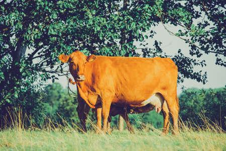 Cows in meadows. Red cows and calves in the meadow. Volyn breed of cows Foto de archivo