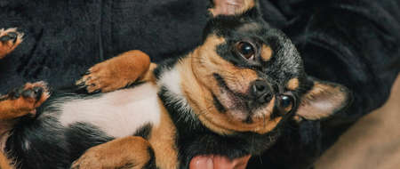 JA guy lovingly holds a dog in his arms. Friendship between a dog and its owner. Chihuahua dog Standard-Bild