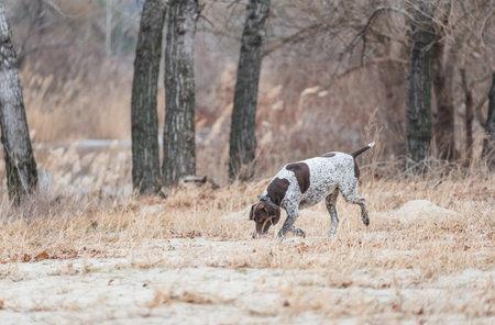 German Kurzhaar, great hunting dog and loyal friend. Kurzhaar. Hunting dog runs in nature