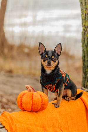 Dressed Chihuahua. pedigree dog chihuahua clothing outdoors. Halloween Stock Photo