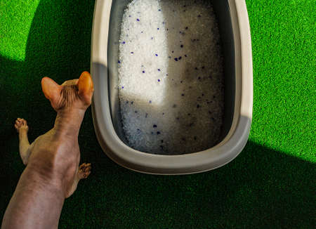 Gray litter box with sand on bathroom floor. Sphynx cat and toilet filler