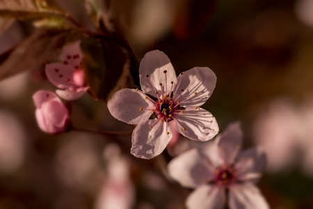 Blooming tree branch in spring. Springtime blossoming, season,