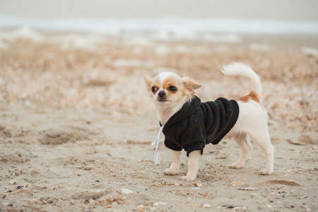 funny chihuahua dog on a beach. dog, pet, chihuahua puppy at sea. Dog in hooddy. Dog for a walk