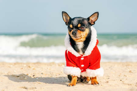 Chihuahua by the sea christmas. Christmas outfit on the dog. Holidays and travel concept. christmas