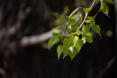 green leaves on the tree. branch spring green forest sun park Standard-Bild