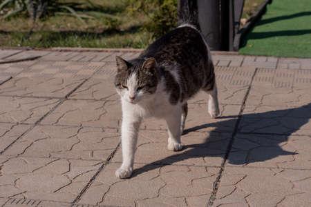 Gray cat walks for a walk. cat pet nature animal Standard-Bild