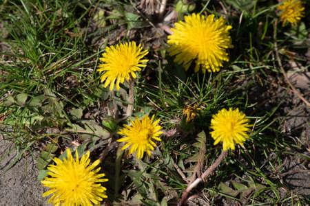 summer field of dandelions. Dandelion flowers are yellow. dandelion flower yellow background