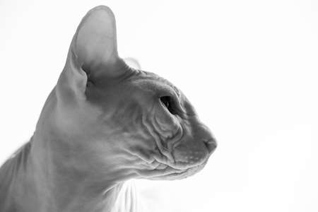 Sphynx cat in front of white background. Sphynx cat portrait close-up