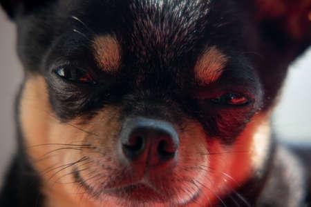 funny black chihuahua. Chihuahua portrait close-up. dog animal chihuahua small portrait
