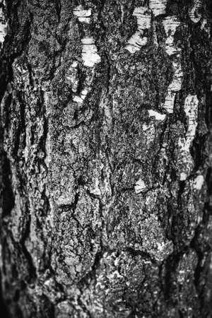 Birch bark tree texture. natural background