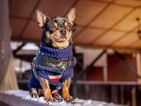 Dog on a walk in the winter. Chihuahua in winter clothes.