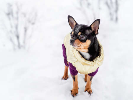 Chihuahua. Dog on a walk in the winter. A lot of snow and a dog. Фото со стока