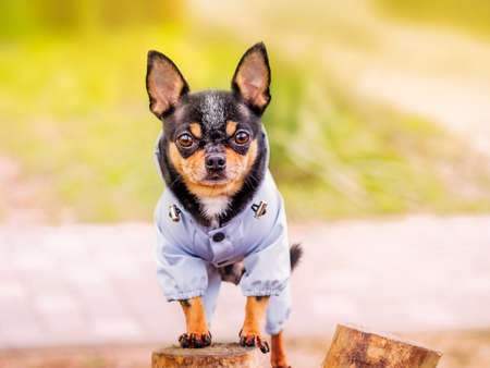 Black dog with tan in clothes. Chihuahua dog portrait.