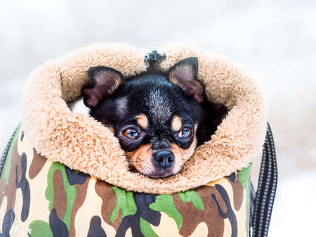 Portrait of a Chihuahua dog in a dog carrier in snowy weather. Transporting a dog in a handbag. Фото со стока
