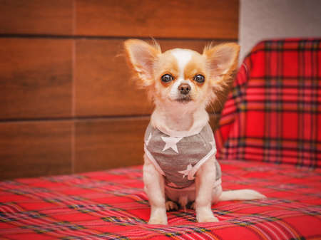 Beautiful small chihuahua puppy on the bed. Healthy cute babby dog at home. Фото со стока