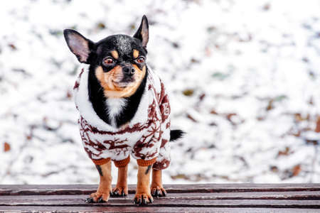 Purebred Chihuahua on a walk in winter in clothes. A charming outfit for a dog.