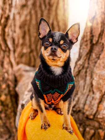 Purebred Chihuahua on a walk in clothes. Portrait of a dog in a sweater. Фото со стока