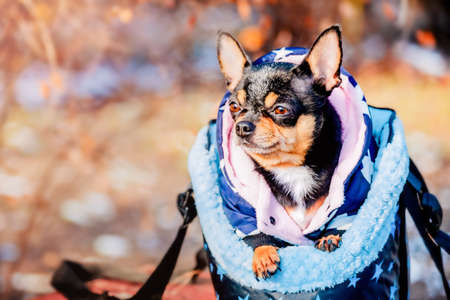 Chihuahua for a walk in a bag in winter or autumn. Dog in a pet carrier bag.