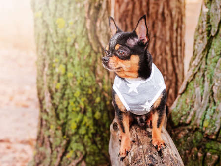 A dog in a gray jersey. Chihuahua dog is standing on a log.