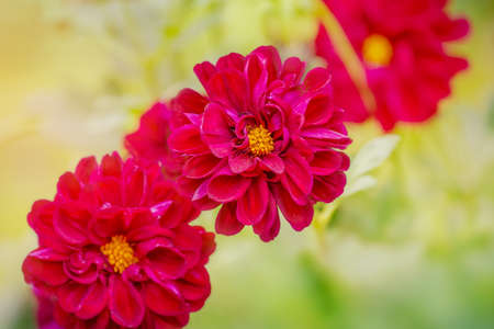 Purple three flowers with soft focus. Flowers chrysanthemum in autumn. Фото со стока