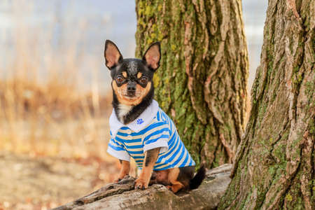 Pet dog. Portrait of a small breed Chihuahua dog of black color outdoors in clothes. Фото со стока