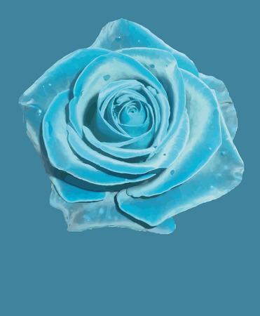blue rose: Blue rose flower. Vector illustration.