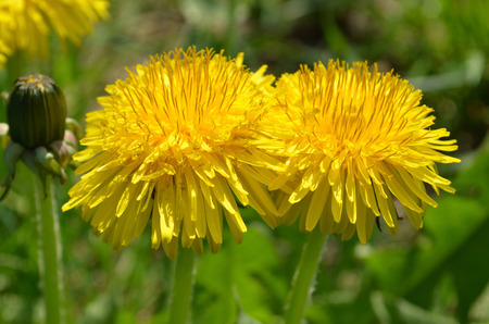 Yellow dandelion flower in green grass Stock Photo