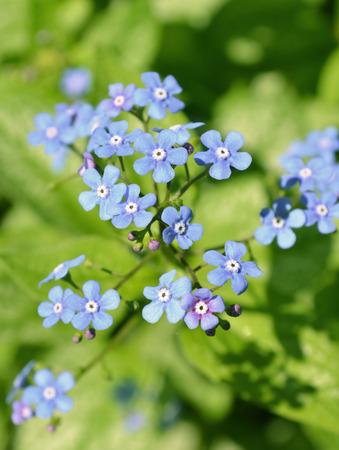 jack frost: Blue Jack Frost flowers Stock Photo
