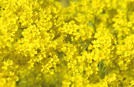 golddust: Goldentuft Alyssum flowers. Gold flower blossoms - Aurinia Saxatilis Stock Photo