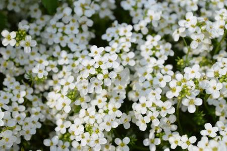 flavoursome: Sweet Alyssum Lobularia maritima