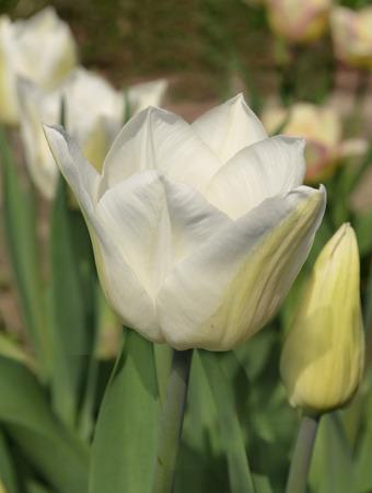 tulip: Fresh white tulip. Beautiful white tulip flower in garden with blurred background.
