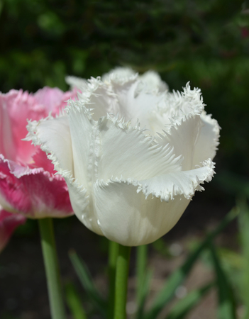 frilly: White frilly tulip in the spring garden flowerbed.