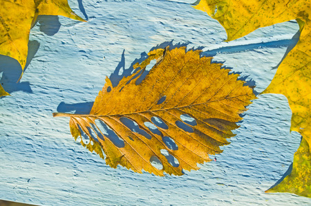 dry leaf: Autumn Leaves over blue wooden background