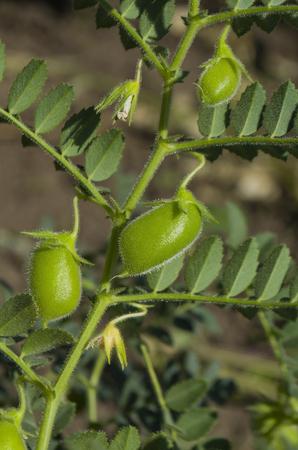 Lentil plant Lens culinaris