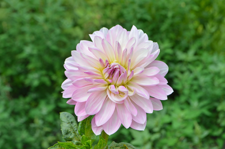 tuberous: Pink flower dahlia. Beautiful dahlia in the garden. Perennial plants with tuberous roots.