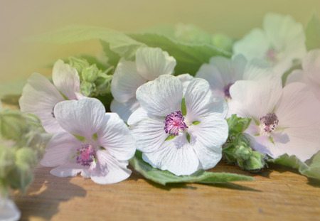 traditional medicine: Althaea officinalis marshmallow. Marshmallow flower on wooden table. Traditional medicine Stock Photo