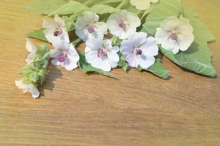 mallow: Marshmallow Althaea officinalis. Marsh Mallow