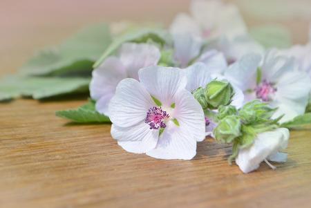 Marshmallow Althaea officinalis. Marsh Mallow