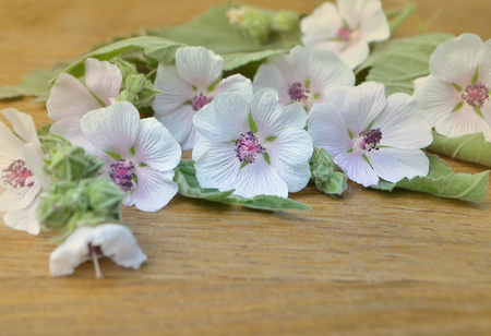 mallow: Marsh mallow. Althaea officinalis