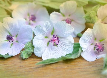 traditional medicine: Marshmallow flower on wooden table. Traditional medicine